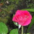 雨に打たれたバラ